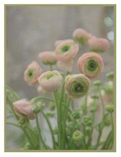 Ranunculus asiaticus (Persian Buttercup) by contentinacottage #Flower #Persian_Buttercup: Ranunculus, Persian Buttercup, Color, Beautiful, Pink, Flowers, Garden, Favorite Flower