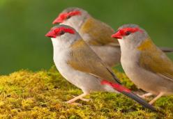 Red-browed Finches, found in Australia: Abundant Birds, Birds Finches, Backyard Birds, Birds Feathered Wonders, Beautiful Birds, Browed Finches, Estrildid Finches