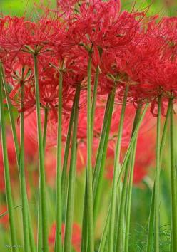 "Red spider lilies - it's a surprise lily. The small leaves die down in the spring and then in the fall the 15"" tall flower spikes emerge. Surprise!: Spiders, Beautiful Flowers, Tall Flower, Garden, Sky Genta"