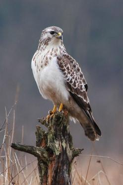 Red-tail hawk- I see one almost everyday on my way to work.  He sits in a different tree on the same stretch of road.: Birds Of Prey, Hawks Birds, Animals, Birds Hawks, Beautiful Birds, Raptors