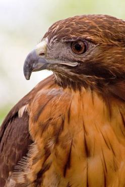 Red Tail Hawk.- we have so many of these beautiful birds in our area: Hawk Birdsofprey, Birds Of Prey, Hawks Birds, Red Tailed Hawk, Beautiful Birds, Red Tail Hawk, Birds Raptors Hawks, Birdsof Prey