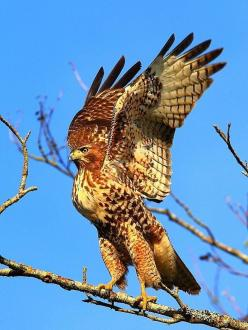 Red-tailed Hawk: Animals, Eagle, Hawks, Red Tailed Hawk, Raptor, Beautiful Birds, Photo