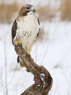 ☀Red-tailed Hawk (Buteo jamaicensis) by ER Post, Better known as Kelly's Hawk. Dm: Hawk Birdsofprey, Flickr Photo, Jamaicensis Flickr, Photo Sharing, Hawks