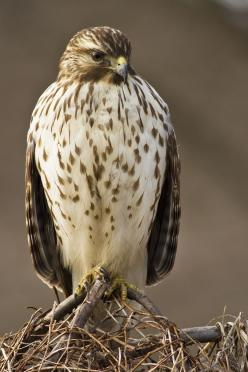 Red-tailed Hawk (Buteo jamaicensis): Hawks Birds, Hawks Eagles Falcons, Red Tailed Hawk, Raptor, Beautiful Birds, Eagle Hawks, Falcons Owls Eagles Hawks