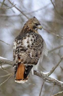 Red-tailed hawk, different morph from back home: Raptors Birds, Animals Raptors, Red Tailed Hawk, Birds Feathered Wonders, Hawks Animals, Animals Insects Birds Fish, Birds Species Hawks