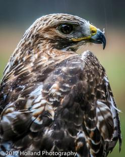 Red Tailed Hawk: Hawk Feather, Hawks Birds, Red Tailed Hawk, Eagle Hawk Falcon, Bird Raptorial, Red Tail Hawk, Hawks Eagles, Eye