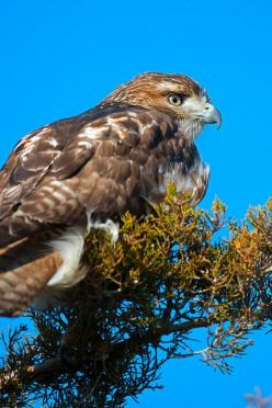 Red-tailed Hawk: Red Tailed Hawks, Photo, Red Tail Hawk, Birds Raptors