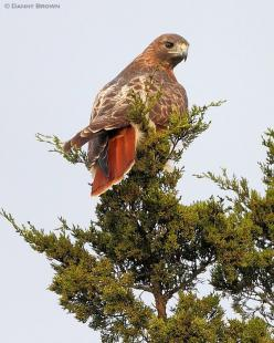 Red-tailed Hawk - there's one that lives around here - see it all the time.: Bugs Birds, Danny Brown, Red Tailed Hawk, Fine Feathered, Animals Birds, Eagle Hawks, Birds Owls Ducks, Birds Raptors