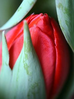 Red tulip just opening. Tulips are a popular Spring Time Flower that stand for perfect love. What a way to leave butterflies in her stomach!: Rose Buds, Color, Red Flowers, Red Rose, Red Tulips, Bloom, Photo, Garden