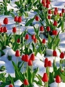 Red tulips in the snow: Nature, Beautiful, Snow, Tulips, Flowers, Garden, Spring, Park City