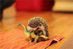 Reenactment of how the dinosaurs became extinct…Martin Freeman killed the dinosaurs...John Watson has aged remarkably well...: Extinct, Animals, Stuff, Funny, Adorable, Dinosaurs, Things, Baby Hedgehog, Hedgehogs