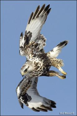 Rough-legged Hawk by Earl Reinink. Also known as the Rough-legged Buzzard (Buteo lagopus) is a medium-large bird of prey. It is found in Arctic and Subarctic regions of North America and Eurasia during the breeding season and migrates south for the winter