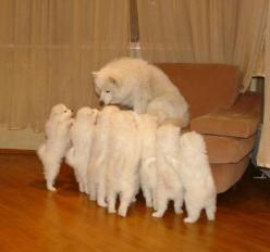 samoyed: Animals, Puppies, Dogs, Pets, Funny Stuff, Puppy, Funnies, Things