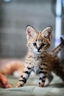 Serval Cat kitten! I love the ears!: Wild Cat, Cats, Big Cat, Animals, Pet, Baby, Kittens, Kitty