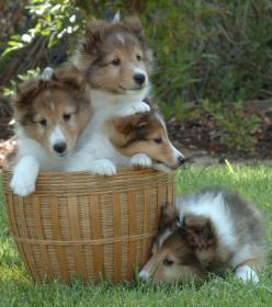 shelties | SummerBrook Shelties; El Cajon, CA.: Dogs, Puppies Sheltie, Baby Sheltie, Shetland Sheepdog, Summerbrook Shelties, Puppy, Collie Puppies, Animal