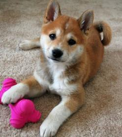 Shiba Inu..I've seen one of these before in person, they're super cute but the owners paid A LOT for it: Puppies, Shiba Inu, Dogs, Adorable Animals, Baby, Friend