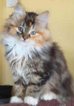 Siberian Kitten. Also hypoallergenic & has the personality of a dog -- super friendly. Perfect cat for me!: Cats, Beautiful Cat, Siberian Kitten, Kitty Cat, Hypoallergenic Cat, Siberian Cat
