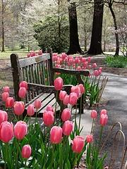 Sit among the tulips. Plant bulbs now for spring. You will be glad you did.: Benches, Garden Reverie, Gardening, Gardens, Flowers, Spring, Photo, Pink Tulips