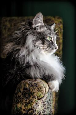 Skott this is my cat. norvegian forest cat. And this is why cats are worshipped. No animal comes close in majesty.: Kitty Cats, Beautiful Cats, Norwegian Forest Cat, Animals Cats Domestic, Maine Coon Cats, Chat, Kitties, Kittens Cats