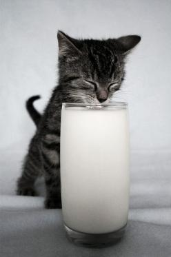 Some people cringe when they see this happening to their milk.. I think it is precious..esp the little back splash on their noses when they're done.: Kitty Cats, Animals, Meow, Pets, Glass, Adorable, Kittens