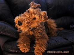 someday, i wish to adopt an airedale terrier  and name him Aberforth. He would need a collar with a pocketwatch. Annabelle thinks he sounds like a great friend.: Dogs, Welsh Terriers, 1 Airedales Love, Airdale Terrier Puppy, Great Friends, Airedale Terrie