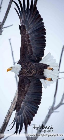 "Spread Eagle  | Hubbard Photography;    ""But those who wait on the Lord Shall renew their strength; They shall mount up with wings like eagles, They shall run and not be weary, They shall walk and not faint.""   Isaiah 40:30-31: Eagle Hubbard, Beau"