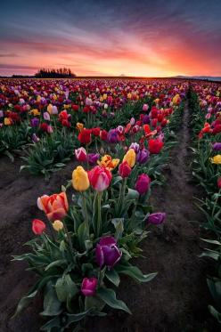 Spring Tulips || Woodburn, Oregon.: Nature, Beautiful, Spring Tulip, Tulips, Place, Flowers, Garden