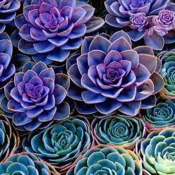 SUCCULENTS 8X8 Square Original Fine Art by BlackbirdExperience, $23.00: Colour, Idea, Nature, Purple Succulents, Colors, Beautiful, Plants, Flowers, Garden
