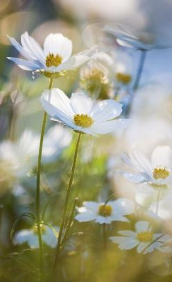 Summer blooms: Wild Flower, White Flowers, Beautiful Flowers, Bokeh Flower, Garden, Photo, Summer Flower, Cosmos Flowers