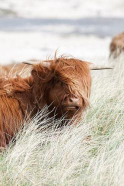 Super hip cattle in the Highlands of Scotland /: Scotland Highland, Highland Cow, Animals, Bay Ardnamurchan, Cattle Scotland, Hip Cattle