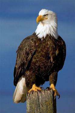 Symbol of America - Bald Eagle: Animals, America, Roofvogel, Birds Eagles, Alaska Eagles, Bald Eagles, Photo
