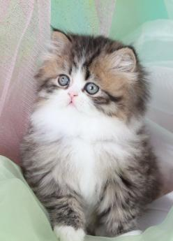 Teacup Persian kitten. I will have one someday <3 - Spoil your kitty at www.coolcattreehouse.com: Teacup Persian Kittens, Animals, Pets, Kitty Kitty, Adorable, Teacup Kitten, Chat, Persian Cat, Cats Kittens