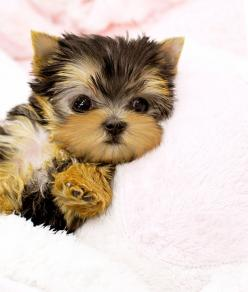 teacup puppies - Google Search: Cute Puppies, Yorkshire Terrier, Teacup Yorkie, Teacup Puppies, Puppys, Yorkie Poo, Animal