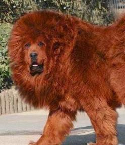 The 5 most expensive dog breeds in the world: Expensive Dog, Red Tibetan, Tibetan Mastiffs, Tibetanmastiff, Dog Breeds, Big Dogs, Animal