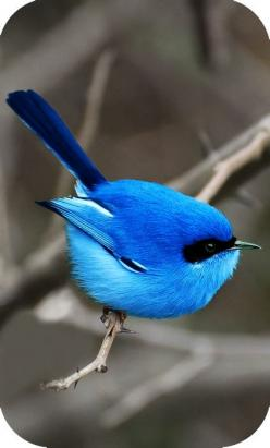 The blue fairy wren of Australia ~ wow these birds are beautiful in person too.. More so in person...: Beautiful Birds, Blue Fairy, Fairywren, Animal, Fairy Wren