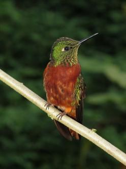The Chestnut-breasted Coronet (Boissonneaua matthewsii) is a species of hummingbird in the Trochilidae family. It is found in humid montane Andean forests in Colombia, Ecuador, and Peru. It is generally easily recognized by its contrasting rufous underpar