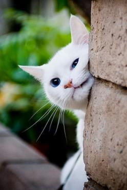 """The Human might be asking the cat-""""What do you want"""", and by the cat expression he might say """"Oh nothing"""", just looking"""": Kitty Cats, Kitten, Animals, Post, Funny Cat, Pet, White Cats, Kitties"""