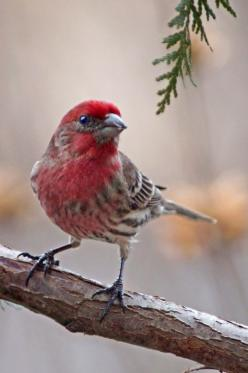 The Purple Finch (Haemorhous purpureus) is a bird in the finch family Fringillidae. Their breeding habitat is coniferous and mixed forest in Canada and the northeastern United States, as well as various wooded areas along the U.S. Pacific coast. They nest