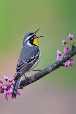 The Yellow-throated Warbler (Setophaga dominica) is a small migratory songbird species breeding in temperate North America. It belongs to the New World warbler family (Parulidae), These birds breed in southeastern North America, and their breeding ranges