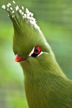 This Bird looks like it is ready for Easter with its Easter Bonnet of fancy head feathers: Animals, Nature, Birdie, Beautiful Birds, Eye