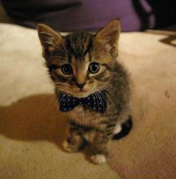 This classy fellow and his polka-dotted bow tie. | 39 Overly Adorable Kittens To Brighten Your Day: Kitty Cat, Animals, Bow Ties, Cute Kitty, Dog Bow Tie, Super Cute Animal, Cute Cats And Kittens Kitty