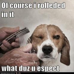 """This is cute....not so cute when my 100 pound thick coated mutt rolls in """"it"""": Picture, Animals, Dogs, Sprinkles, Pet, Art, Beagles, Bath, Joel Brochu"""