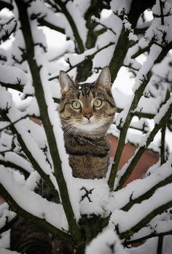 This looks like Piddy kitty (that is if he was actually allowed to be outside & could climb a tree).: Cats, Animals, Kitty Cat, Winter Wonderland, Snow Cat, Kitty Kitty, Chat
