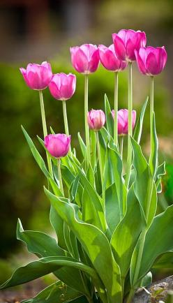 This Pin was discovered by Christina Polites. Discover (and save!) your own Pins on Pinterest. | See more about pink tulips, pink flowers and tulips.: Beautiful Flowers, Bloom, Flowers, Spring, Flowers Garden, Pink Tulips, Favorite Flower