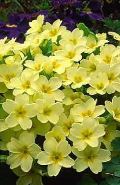 This Pin was discovered by Christina Polites. Discover (and save!) your own Pins on Pinterest. | See more about yellow flowers, flowers garden and primroses.: Yellow Primrose, Flowers Plants, Mellow Yellow, Primroses 0398, Garden Flowers, Beautiful Flower
