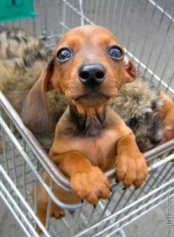this puppy is all over the internet, but whoever had the experience IRL definitely came out on top. I want.: Animals, Dachshund, Hotdog, Pet, Doxie, Funny, Puppy, Hot Dogs