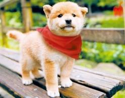 This red bandana makes me look hawt!: Shiba Inu, Dogs, Adorable Animals, Pets, Puppys, Friend, Shibainu