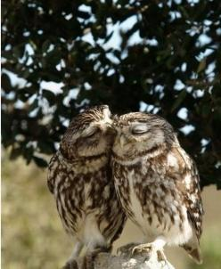 This reminds me of an old couple who have been in love for years... :): Animals, Sweet, Nature, Adorable, Things, Birds, Photo, Owls