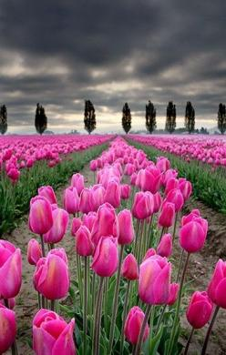 Tulip fields, Skagit Valley, Washington..... I live just south of here. It is beautiful when in bloom!: Tulip Fields, Nature, Color, Skagit Valley, Beautiful Flowers, Garden, Pink Tulips, Favorite Flower