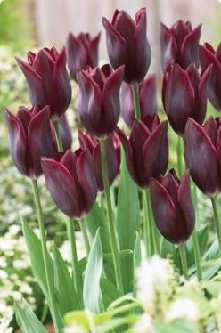 Tulip Havran: Tulip Havran, Bulbs Tulips, Color, Burgundy Tulip, Tulips Havran, Havran Tulips, Beautiful Flowers, Garden, Favorite Flower